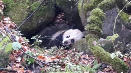 Injured Giant Panda